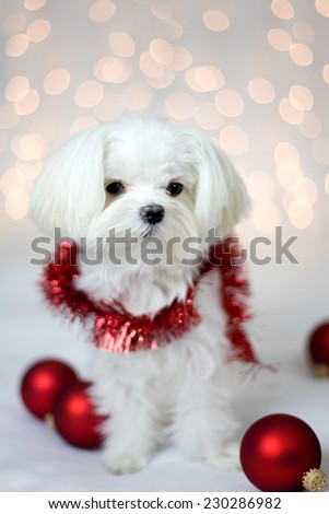 Cute White Maltese dog with Holiday ornaments