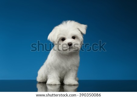 Cute White Maltese Puppy Sits and Curiously Looking in Camera isolated on blue background - stock photo