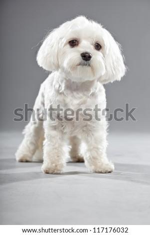 Cute white young maltese dog. Studio shot. Grey background. - stock photo