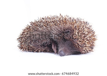 Cute wild hedgehog. Hedgehog closeup.  hedgehog spike spikes quills as texture background.  Hedgehog is any of the spiny mammals of the subfamily Erinaceinae, in the eulipotyphlan family Erinaceidae.