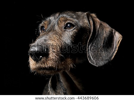 Cute wired hair dachshund portrait in a Black photo studio