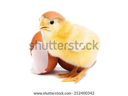 Cute yellow baby chick with egg - stock photo