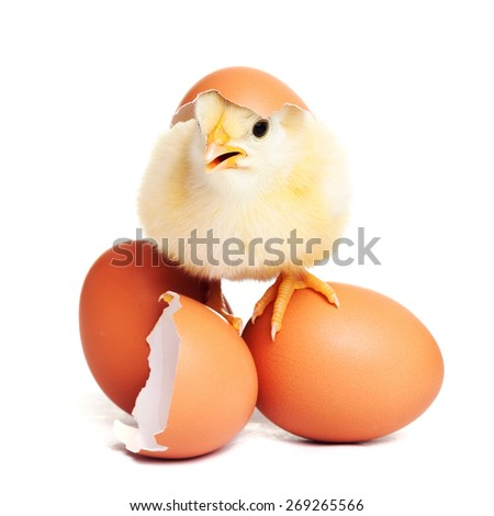 Cute yellow fluffy chick with eggs - stock photo