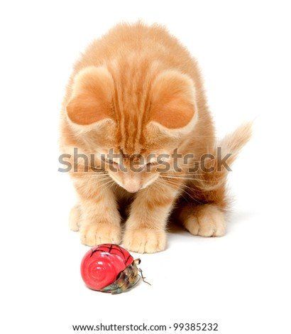 Cute yellow kitten playing with hermit crab on white background - stock photo