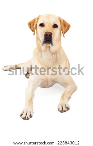 Cute yellow Labrador Retriever dog laying down while looking straight forward with an attentive expression - stock photo