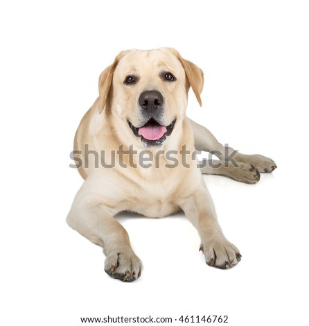 Cute Yellow Labrador Retriever dog smiling isolated on white background