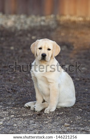 Cute yellow Labrador Retriever puppy sitting - stock photo