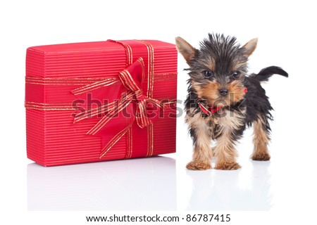 cute yorkie toy puppy standing near a big present on white background - stock photo