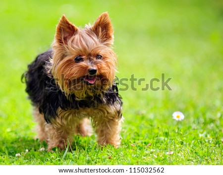 Cute Yorkshire Terrier Dog Playing in the Yard - stock photo
