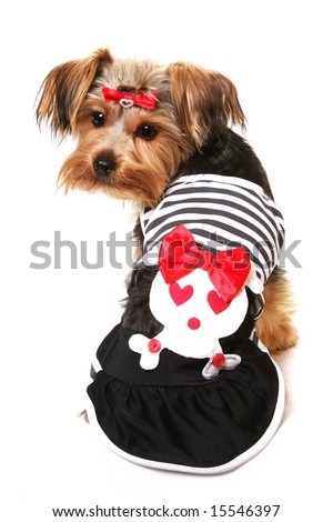 Cute Yorkshire Terrier in Dress - stock photo