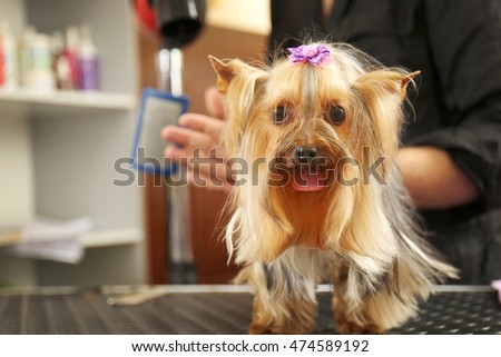 Cute Yorkshire terrier in salon