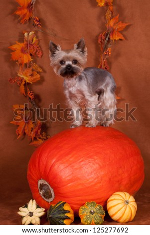 Cute Yorkshire Terrier in studio with pumpkins - stock photo