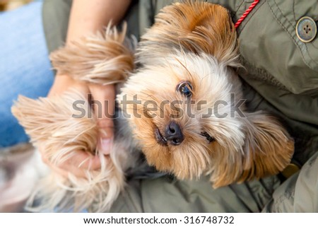 Cute Yorkshire Terrier looks up