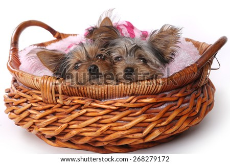 Cute Yorkshire Terrier Puppies Dressed up in Pink - stock photo