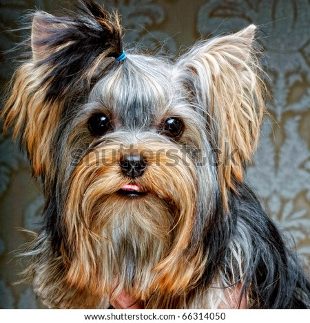 Cute Yorkshire Terrier Puppy - stock photo