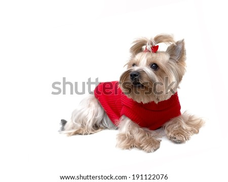 cute Yorkshire terrier puppy in a red knit dress - stock photo