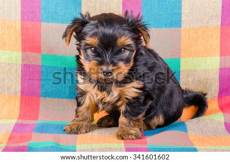 Cute yorkshire terrier puppy sitting, 2 months old, on colorful checkered towel - stock photo