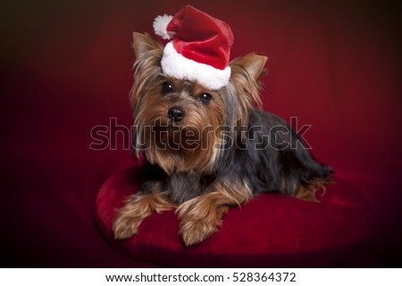 Cute Yorkshire terrier with a Santa hat on a deep red background