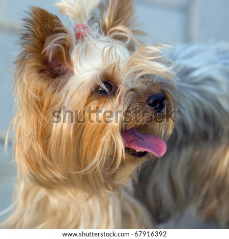 Cute Yorkshire terrier with tongue out looking up.