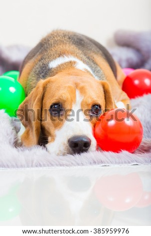 Cute young beagle dog laying on the fur bed with colorful ball - stock photo