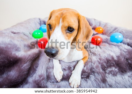 Cute young beagle dog laying on the fur bed with colorful ball - front view