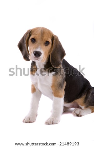 Cute young beagle pup looking adorably cute on white background - stock photo