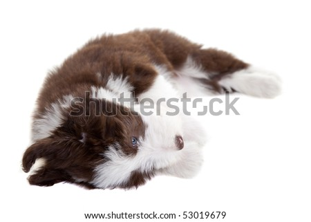 Cute young bearded collie pup playing on white background