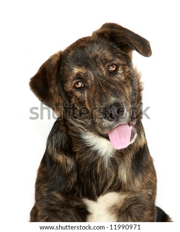 Cute, young, black and brown lab mix dog with curious expression, isolated on white. - stock photo