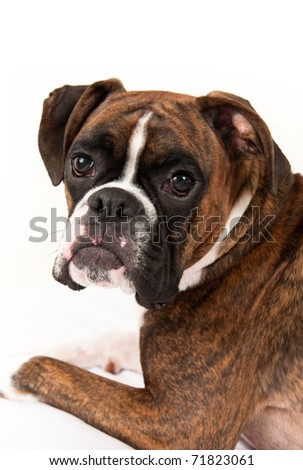 Cute Young Boxer Puppy Sitting in his Owner's Bed - stock photo