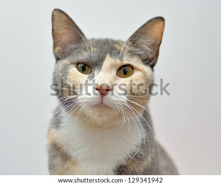 Cute young domestic short hair house cat - calico - looking right at viewer