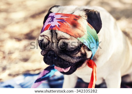 Cute young female pug puppy in bandana yawning, sitting outside on sunny day in a shade, fawn pug dog - stock photo