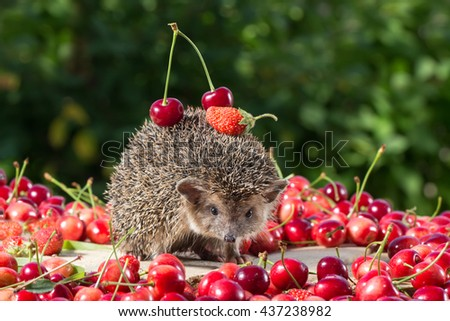 cute young hedgehog, Atelerix albiventris,among the berry on green leaves background, carries cherry and strawberry on the back