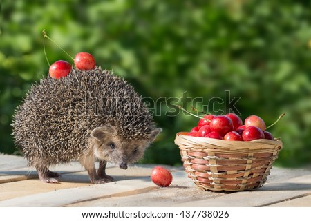 cute young hedgehog, Atelerix albiventris, stands near the wicker basket with sweet cherry on a background of green leaves. berries cherries on the spines of a hedgehog - stock photo
