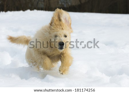 Cute young labradoodle puppy playing in the snow - stock photo