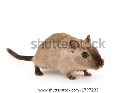 Cute young male rodent isolated on white, macro closeup, close-up with copy space - stock photo