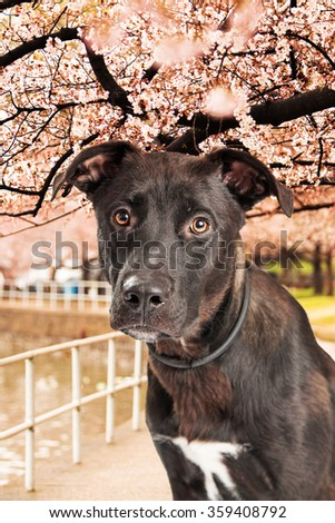 Cute young mixed dog  under a beautiful canopy of cherry blossom flowers over a paved trail along the Tidal Basin in Washington DC, USA - stock photo