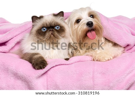 Cute young persian seal colourpoint cat and a happy havanese dog is lying on a soft pink bedspread, isolated before white background - stock photo