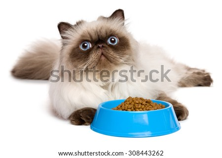 Cute young persian seal colourpoint cat is lying beside a blue bowl of cat food and looking up - isolated on white background