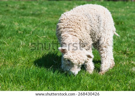 cute young sheep on green grass - stock photo