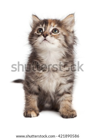 Cute young tabby kitten sitting on white studio background