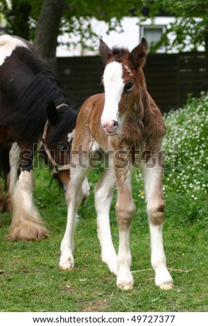 cutest little young Irish Cob filly foal - stock photo