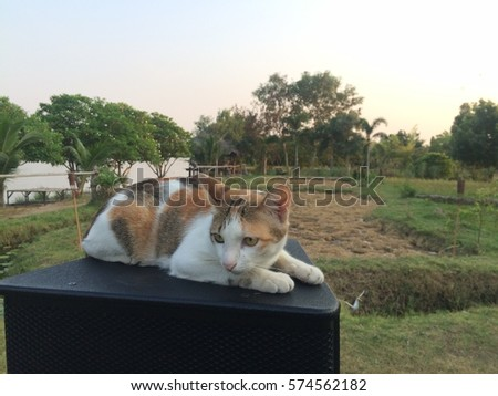 Cutie Cat with Rice Field in Rural Thailand