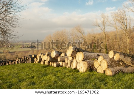 cutted timber tree trunks in the flanders forest autumn - stock photo