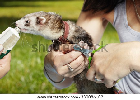 Cutting ferret nails in park - stock photo