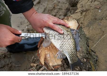 Cutting fish caught. - stock photo