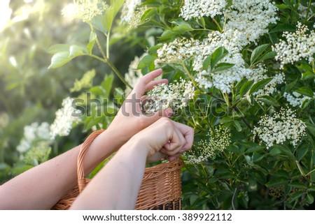 Cutting Flowers from the Elderberry Bush in a Wicker Basket - stock photo