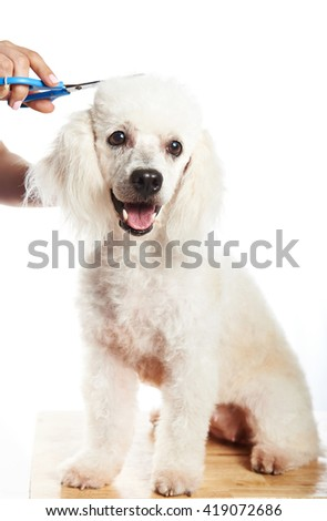 Cutting hair of white poodle dog isolated on white