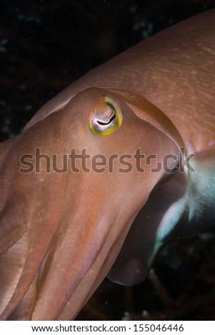 Cuttlefish close up scuba diving in bali - stock photo