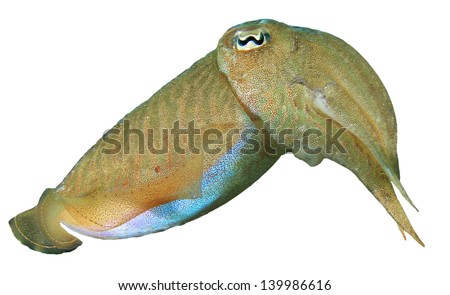 """cuttlefish and intense zebra display There are about 120 species of cuttlefish creature feature: cuttlefish a male cuttlefish can exhibit the """"intense zebra display"""" where it dons black."""