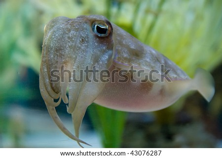 Cuttlefish looking into the camera - stock photo